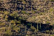 Riparian Overlook, Cactus Forest Drive, Saguaro National Park