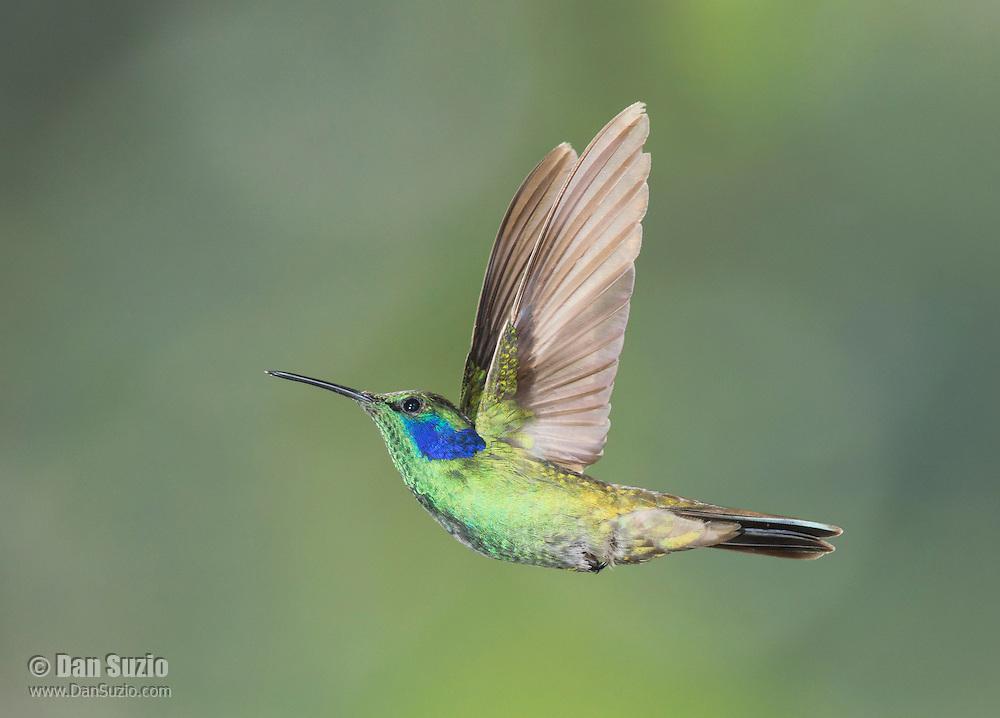 Green violet-ear, Colibri thalassinus. Tandayapa Valley, Ecuador
