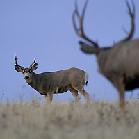 A battle-worn young mule deer gets the willies under the stare of the area's dominant buck.
