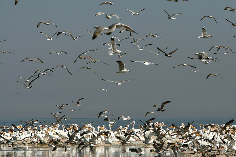 A colony of seagulls take fight above on-looking pelicans on the remains of what was once a marina near Salton City.