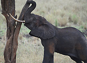 A male African elephant (Loxodonta  africana) tries to push over a tree so he can browse on leaves too high to reach. . Tarangire National Park, Tanzania.