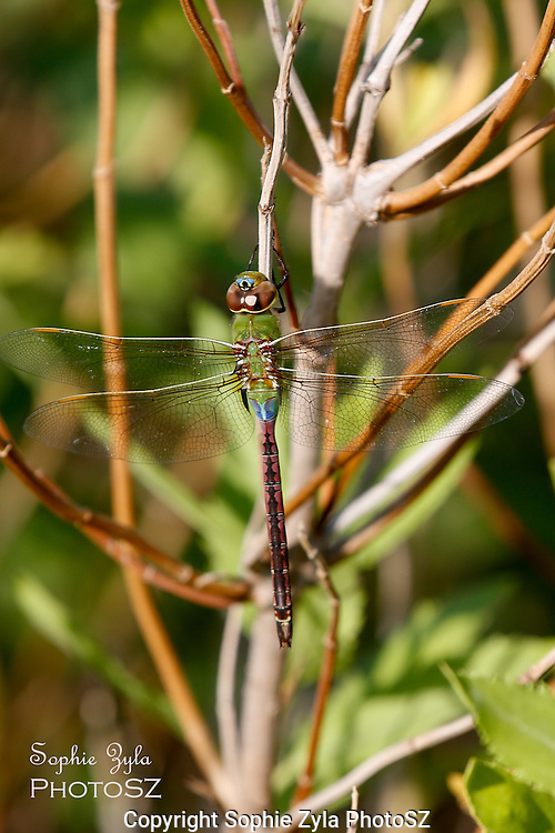 Common Green Darner hanging around