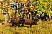 Plains bison (Bison bison bison)  is the largest land animal in North America. <br />ELk Island National Park<br />Alberta<br />Canada