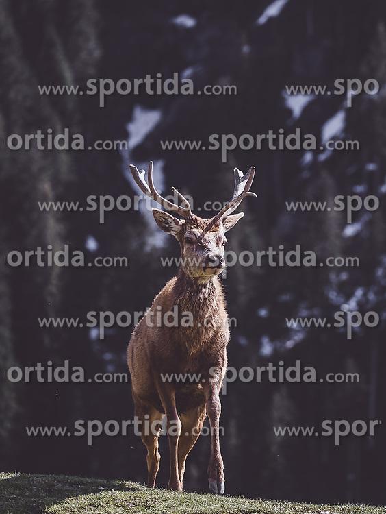 THEMENBILD - ein Rothirsch auf einer Wiese in einem Wildtiergehege, aufgenommen am 07. März 2019 in Aurach, Oesterreich // a Red deer in a meadow in a wild animal enclosure in aurach, Austria on 2019/03/07. EXPA Pictures © 2019, PhotoCredit: EXPA/ JFK