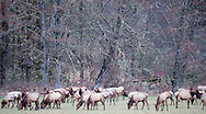 An elk herd browses in late winter with red alder catkins above in the Cowlitz Valley of the Cascade Mountain Range of Washington, USA