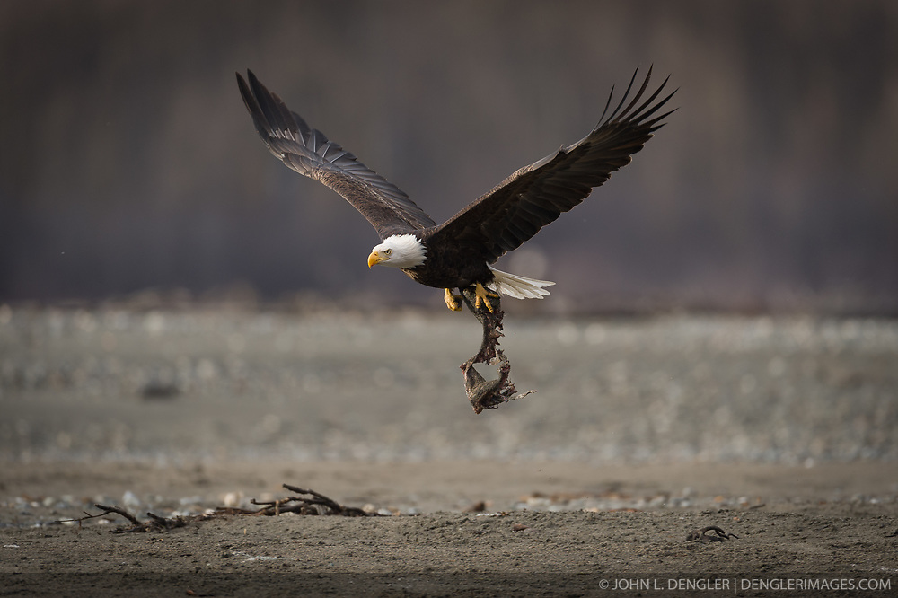 A bald eagle (Haliaeetus leucocephalus) flies away with the head of a salmon carcass over the Chilkat River in the Alaska Chilkat Bald Eagle Preserve near Haines, Alaska. During late fall, bald eagles congregate along the Chilkat River in the Alaska Chilkat Bald Eagle Preserve to feed on salmon in what is believed to be the largest gathering of bald eagles in the world.