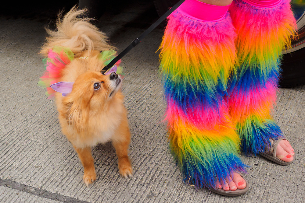 United States, Washington, Seattle Gay Pride Parade, June 28th, 2015. Woman with shaggy rainbow leg warmers and long coat chihuahua in rainbow tutu.