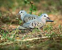 Common Ground Dove (Columbina passerina). Campos Viejos, Texas. Image taken with a Nikon D4 camera and 600 mm f/4 VR lens