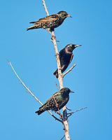 European Starling (Sturnus vulgaris). Image taken with a Nikon 1 V3 camera and 70-300 mm VR lens.
