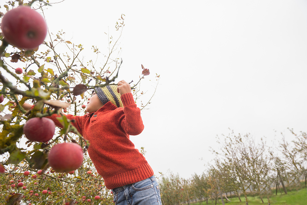 Boy picking apples from apple tree in an apple orchard, Bavaria, Germany