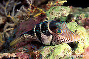 black-saddled toby, Canthigaster valentini, asleep at night, has toxic skin and is mimicked by non-toxic mimic leatherjacket, Paraluteres prionurus, Maldives ( Indian Ocean )