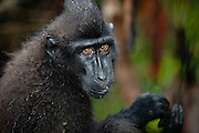 A portrait of a juvenile Celebes Crested Macaque ( Macaca nigra ) with amber-colored eyes wet from a tropical rainstorm, Sulawesi, Indonesia