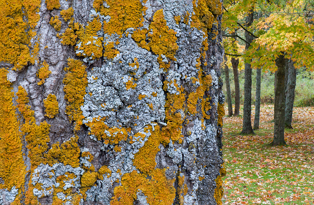 Maple trunk (Acer species.) with lichens, October, Ottawa National Forest, Ontonagon County, Upper Peninsula, Michigan, USA