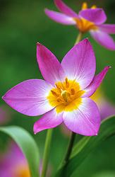 Tulipa saxatilis syn. T. bakeri