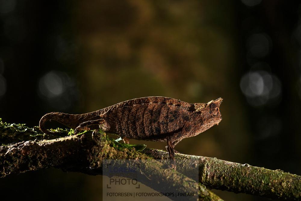 Braunes Blattchamäleon (Brookesia superciliaris), Ranomafana, Madagaskar<br /> <br /> Brown leaf chameleon (Brookesia superciliaris), Ranomafana, Madagascar