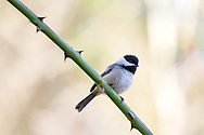 Black-capped Chickadee (Poecile atricapillus) sitting on a Rose branch during a Fraser Valley winter