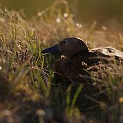 Steller's eider, (Polysticta stelleri)  Female on nest. Barrow, Alaska.