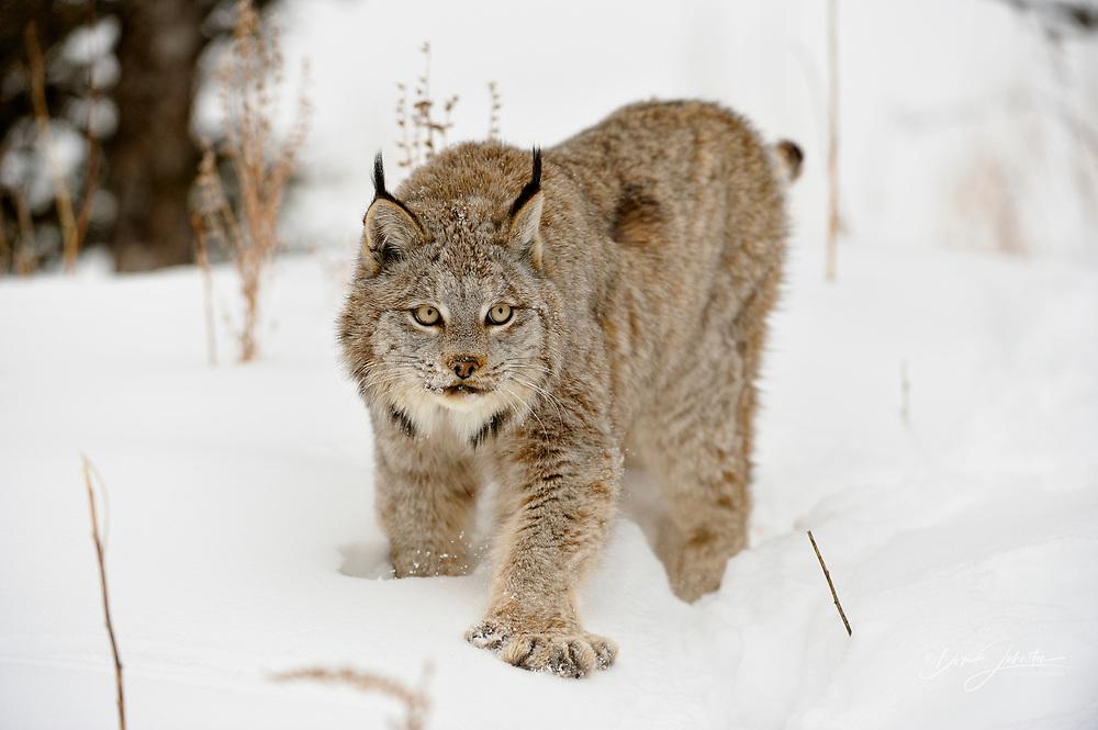 Canada lynx (Lynx canadensis), Bozeman, Montana, USA