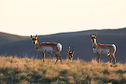 Pronghorns near the Rocky Mountain Front, Montana