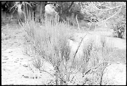 Mesa Verde National Park, Colorado, B&W photograph of a bush near Balcony House. Shot on Panatomic-X film, Nikon Ftn Camera, 60th sec f/5.6 1/2, lens 105/2.5 Nikkor.