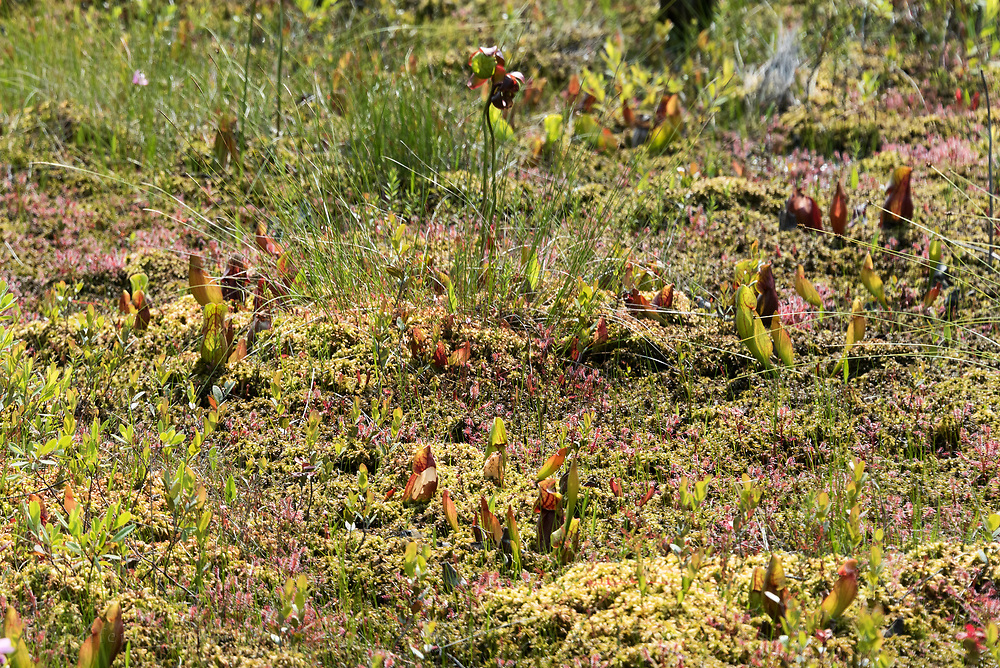 Pitcher plants in bloom with sundews and Sheep Laurel in the bog on Isle au Haut, Maine, USA
