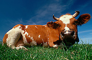 FEATURE: Cows As Cows Can