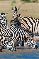 A herd of zebras at a watering hole, Nxai Pan National Park, Botswana.