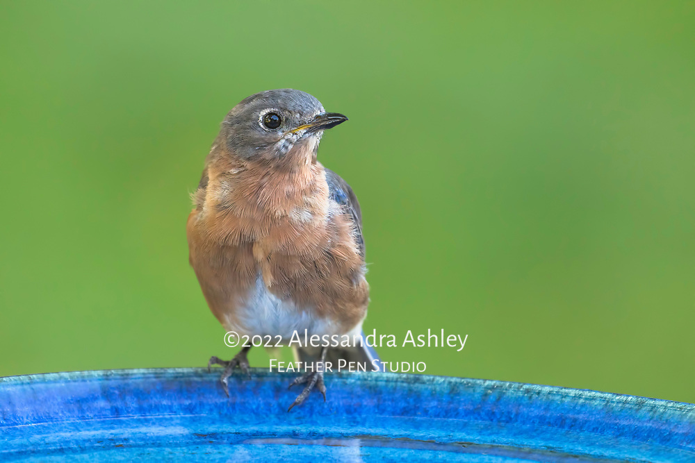 Young female eastern bluebird (Sialia sialis) pauses between drinks from blue birdbath in backyard setting.