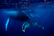 Humpback whale off of the dominican Republic