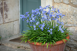 Agapanthus praecox Blue Storm syn.  'Atiblu' - African lily -  in a terracotta pot by a front door