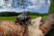 Male Rhinoceros beetle (Oryctes nasicornis); Marburg, Germany | Der Nashornkäfer (Oryctes nasicornis) ist ein Käfer aus der der Familie der Blatthornkäfer (Scarabaeidae). Hier ein Männchen; Marburg Germany