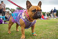 French Bulldog dressed for a dog show competition