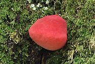 Beefsteak Fungus - Fistulina hepatica