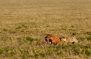 Hyena chases a rival that has stolen part of its food, Serengeti National Park, Tanzania.