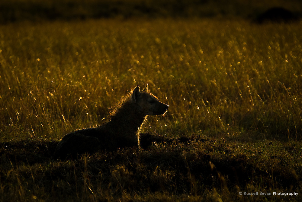 A silhouette of a hyena lying in grass in the Masai Mara National Park, Kenya