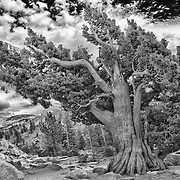 Bristlecone Pine - Big Sky Clouds Olmstead Point - Yosemite - HDR - Infrared Black & White