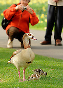 © Licensed to London News Pictures. 22/03/2012. Kew, UK. People photograph an Egyptian Goose and her young chicks. People enjoy the spring sunshine in The Royal Botanic Gardens at Kew today, 22 March 2012. Temperatures are set to reach 18 degrees celsius in some parts of the UK today. Photo credit : Stephen SImpson/LNP