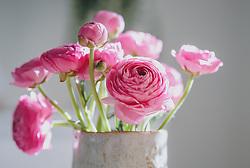 THEMENBILD - rosa Ranunkeln (Ranunculus asiaticus) in einer Vase, aufgenommen am 12. April 2020 in Kaprun, Oesterreich // pink ranunculus (Ranunculus asiaticus) in a vase, in Kaprun, Austria on 2020/04/12. EXPA Pictures © 2020, PhotoCredit: EXPA/Stefanie Oberhauser