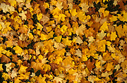 Various Autumn leaves on forest floor, UK