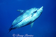 Atlantic spotted dolphins, Stenella frontalis, mating, male underneath, Little Bahama Bank, Bahamas ( Western Atlantic Ocean )