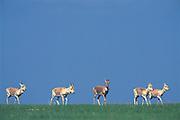 Mongolian or White-tailed gazelle (Procapra gutturosa)<br /> Easterm Steppe<br /> Mongolia<br /> Range: Mongolia & Inner Mongolia