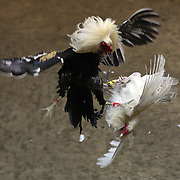 THE PHILIPPINES (Manila). 2009. A game cock delivers a fatal blow to its competitor as the three inch razor sharp blade attached to its left ankle pierces its opponents body killing it instantly during the bout between two game cocks, at the Makati Coliseum, Makati City, Manila. Photo Tim Clayton <br /> <br /> Cockfighting, or Sabong as it is know in the Philippines is big business, a multi billion dollar industry, overshadowing Basketball as the number one sport in the country. It is estimated over 5 million Roosters will fight in the smalltime pits and full-blown arenas in a calendar year. TV stations are devoted to the sport where fights can be seen every night of the week while The Philippine economy benefits by more than $1 billion a year from breeding farms employment, selling feed and drugs and of course betting on the fights...As one of the worlds oldest spectator sports dating back 6000 years in Persia (now Iran) and first mentioned in fourth century Greek Texts. It is still practiced in many countries today, particularly in south and Central America and parts of Asia. Cockfighting is now illegal in the USA after Louisiana becoming the final state to outlaw cockfighting in August this year. This has led to an influx of American breeders into the Philippines with these breeders supplying most of the best fighting cocks, with prices for quality blood lines selling from PHP 8000 pesos (US $160) to as high as PHP 120,000 Pesos (US $2400)..