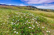 Island morning glory, Santa Cruz Island, Channel Islands National Park, California USA