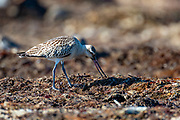 Bar-tailed Godwit (Limosa lapponica) searching for food on washed-ashore kelp at Revtangen, south-western Norway in September.