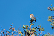 Photograph of a Pine Siskin (Spinus pinus) on a branch of a Juniper Tree