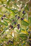 Black olives in grove of traditional olive trees, Val D'Orcia, Tuscany, Italy