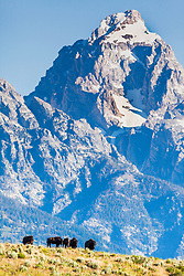 Grand Bison.   Bison below the Grand Teton in Grand Teton National Park.   It is hard to make a bison look diminutive, I think I did though.