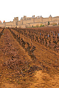Carcassonne. Languedoc. View over the old city. Vines trained in Guyot cane pruning. Terroir soil. A rainy and misty winter day. France. Europe. Vineyard.