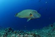 Napoleon wrasse, Maori wrasse, or giant humphead wrasse, Cheilinus undulatus, Shark Reef Marine Reserve, Beqa Passage, Viti Levu, Fiji ( South Pacific Ocean )