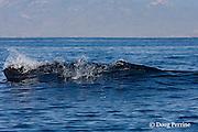 Bryde's whale, Balaenoptera brydei or Balaenoptera edeni, surfacing off Baja California, Mexico ( Eastern Pacific Ocean )